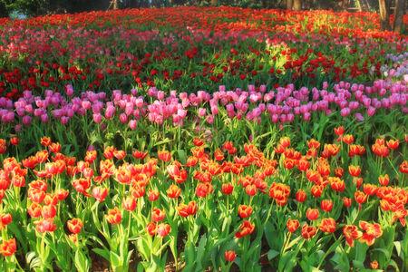 multicolored tulips in the garden, tulip field photo