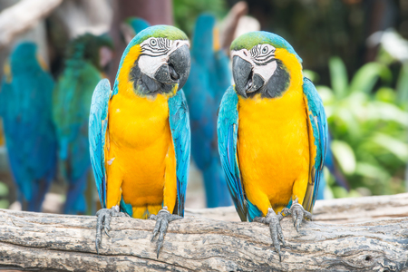 two parrots: A pair of blue-and-yellow macaws perched in the jungle.