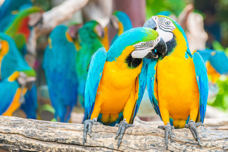 a love bite or a kiss?? Pair of colorful Macaws interacting. photo
