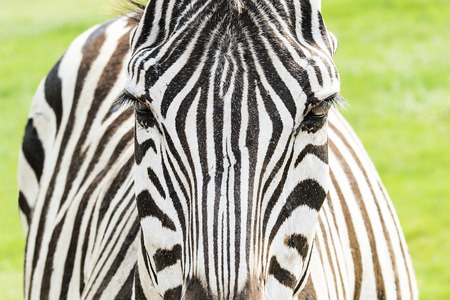 head close up: Close up of Zebra head in meadow Stock Photo