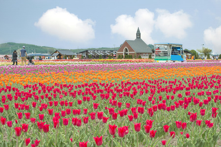 Colorful of tulip garden at Kamiyubetsu Tulip Park, Hokkaido, Japan