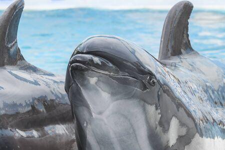 dauphin: Close up t�te de dauphin dans l'eau de piscine
