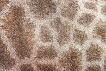 animals horned: Genuine leather skin of giraffe