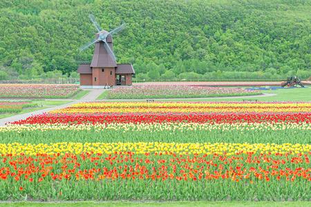 Tulips: Windmill on field of tulips in Japan Stock Photo