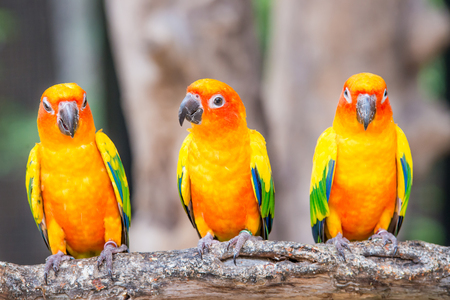 green parrot: Sun Conure parrot standing at branch