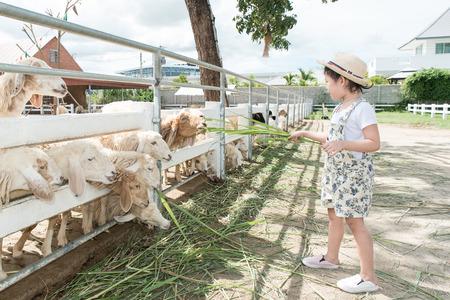 Asian kids girl feeding grass to sheep on the farm.