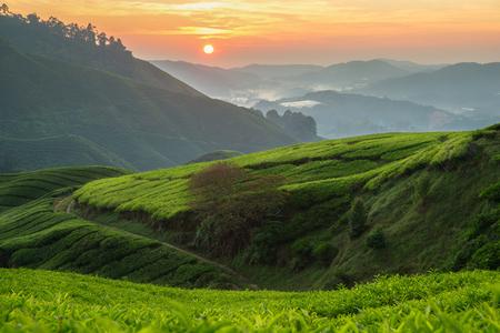 マレーシア キャメロンハイランドの紅茶プランテーション