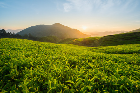 Thee plantage in Cameron Highlands, Maleisië Stockfoto