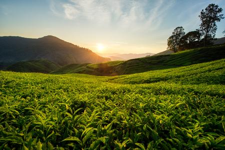 cameron: Tea plantation in Cameron highlands, Malaysia