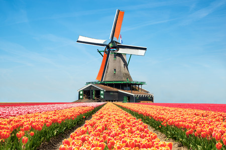 netherlands: Landscape of tulips and windmills in the Netherlands.