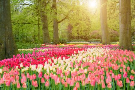 yellow flower tree: Beautiful spring flowers in Keukenhof park in Netherlands Stock Photo
