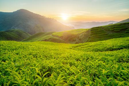 tea plantations: Tea plantation in Cameron highlands, Malaysia