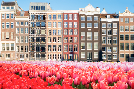 Tulips: Tulips and tradition Dutch houses in Amsterdam, Netherlands