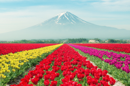 asian tulips: Landscape of Japan tulips with Mt.fuji. Colorful tulips. Tulips in spring and Mt.fuji in Japan.