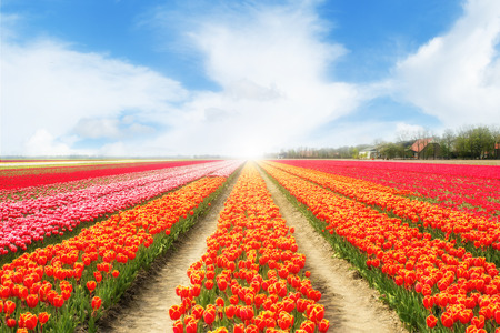 romance sky: Landscape of Netherlands tulips with sunlight. Colorful tulips. Tulips in spring in Netherlands.