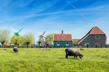 Farm in Netherlands. Dutch windmill in fresh Farm field in summer at Netherlands. Rural farm scene in Netherlands.