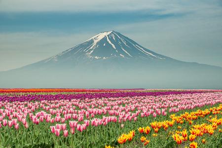 일본에서 mt.fuji와 일본 튤립의 풍경. 스톡 콘텐츠