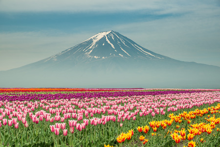 Landscape of Japan tulips with Mt.fuji in Japan.