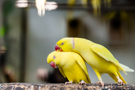 periquito: Portrait of couple rose ring parakeet bird standing at branch