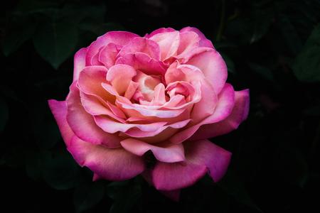 beautiful rose: A beautiful pink rose on black background
