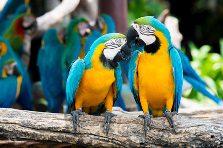 birds on branch: A pair of blue-and-yellow macaws perching at wood branch in jungle. Colorful macaw birds in forest.