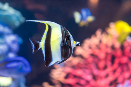 Moorish idol fish with striped pattern on body of yellow, white and black colors swims near stones and colorful corals underwater, diving, Zanclus cornutus, sealife, selective focus Stock Photo