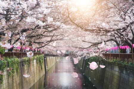 Kirschblüte gezeichneter Meguro Kanal in Tokyo, Japan. Frühling im April in Tokio, Japan. Standard-Bild - 82370441