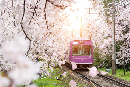 View of Kyoto local train traveling on rail tracks with flourishing cherry blossoms along the railway in Kyoto, Japan.