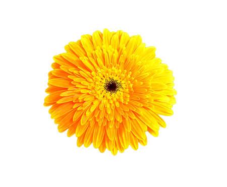 gerbera daisy isolate on white background Stock Photo