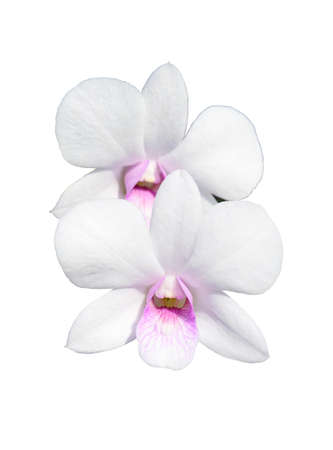orchid isolate on white