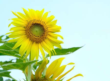 sunflower field beautiful