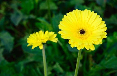 gerbera  flower in garden