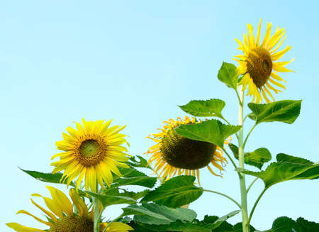 sunflower closeup blue sky