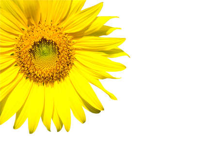 sunflower isolate on white Stock Photo