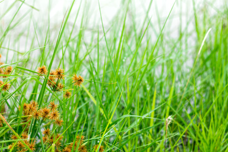 Grass flowers in the rainy season and background.