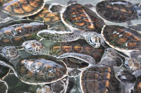 baby turtle: baby turtle. Baby green turtle in a nursery pond.