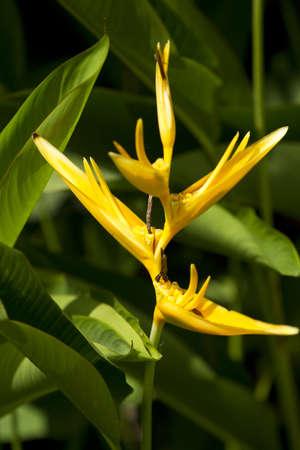 strelitzia, yellow strelitzia tree in the sunlight garden. photo