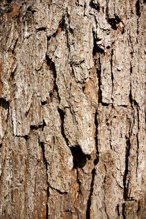 壁紙としてテクスチャを示す大きな木のテクスチャ、茶色樹皮します。