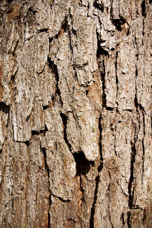 surface aged: bark texture, brown bark of big tree showing texture as wallpaper.