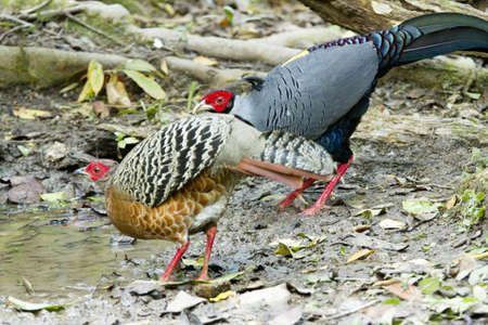 Siamese Fireback, two Siamese fireback in the forest. photo