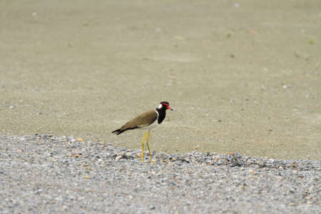 lapwing: red-wattled lapwing, red-wattled lapwing walking on the sand