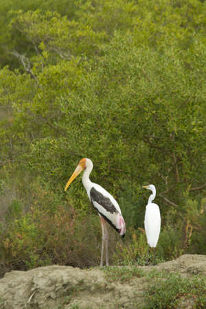 painted stork, painted stork standing in the mangrove forest photo