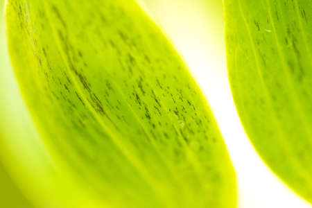 lotus petal, green lotus leaf close up abstract photo