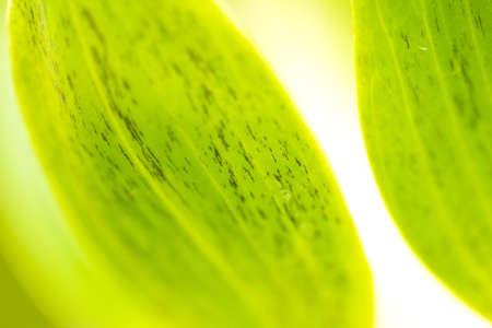 lotus petal, green lotus leaf close up abstract photo