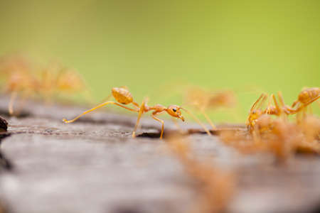 orange ants, orange transparent ants walking on wood bark photo
