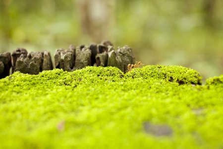 ant walking, transparent orange ant walking on green mos carpet