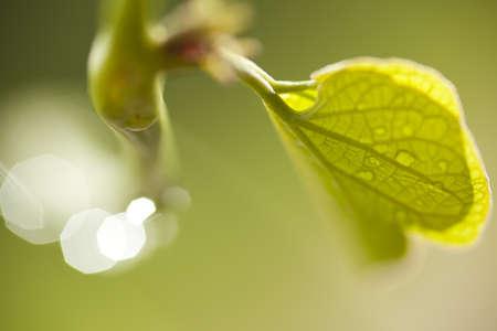sunup: leaf texture, dew drops on leaf showing transparent texture