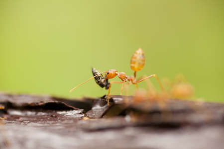 ants food, orange transparent ants eating insect on wood bark photo