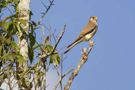 Kestrel, Common Kestrel hold on tree top in the wood Stock Photo - 17628401