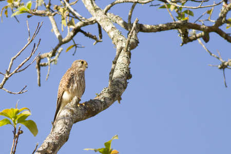 Common Kestrel, Kestrel hold on branch of tree in the wood Stock Photo - 17628399